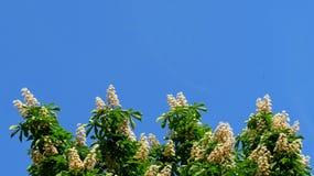 Kastanienbaum Aesculus hippocastanum weiße Blumen Lizenzfreie Stockfotografie