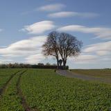 Kastanienbaum im Herbst, (Aesculus hippocastanum), Straße über den Feldern in schlechtem Iburg-Glane, Osnabruecker-Land, Deutschla Stockbild