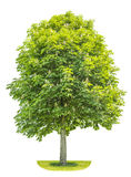 Kastanienbaum lokalisiert auf weißem Hintergrund Blosoming-Frühlingswinkel des leistungshebels Stockfoto