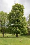 Kastanienbaum und Huhn Lizenzfreies Stockbild
