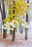 Kastanienbaum unter Schnee stockbild