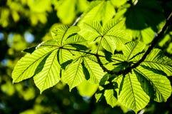 Kastanienbaumblätter in den Strahlen der Sonne stockfotos