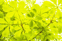 Kastanienblätter auf den Niederlassungen Stockfotos