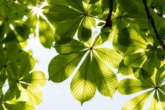 Kastanienblätter und sonniger Himmel Aesculus hippocastanum Stockfotos