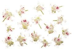 Kastanienblume oder Aesculus hippocastanum, Conker lokalisiert auf weißem Hintergrund Lizenzfreie Stockfotos