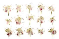 Kastanienblume oder Aesculus hippocastanum, Conker lokalisiert auf weißem Hintergrund Stockfoto