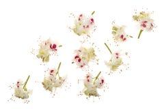Kastanienblume oder Aesculus hippocastanum, Conker lokalisiert auf weißem Hintergrund Lizenzfreies Stockfoto