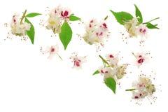 Kastanienblume oder Aesculus hippocastanum, Conker lokalisiert auf weißem Hintergrund mit Kopienraum für Ihren Text Lizenzfreies Stockbild