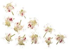 Kastanienblume oder Aesculus hippocastanum, Conker lokalisiert auf weißem Hintergrund mit Kopienraum für Ihren Text Stockfotografie