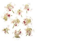 Kastanienblume oder Aesculus hippocastanum, Conker lokalisiert auf weißem Hintergrund mit Kopienraum für Ihren Text Stockbild