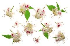 Kastanienblume oder Aesculus hippocastanum, Conkerbaum mit den Blättern lokalisiert auf weißem Hintergrund Stockfoto