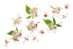 Kastanienblume oder Aesculus hippocastanum mit den Blättern lokalisiert auf weißem Hintergrund mit Kopienraum für Ihren Text Stockfotografie
