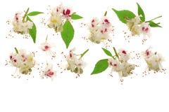 Kastanienblume oder Aesculus hippocastanum mit den Blättern lokalisiert auf weißem Hintergrund mit Kopienraum für Ihren Text Stockfoto