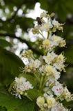 Kastanienblumen Lizenzfreie Stockbilder