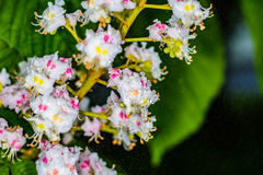 Kastanienblumen im Regen nahaufnahme Lizenzfreie Stockfotos