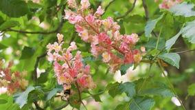Kastanienblumen Makro- und nah oben stock video footage