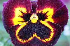 Kastanienbraun-gelbe Pansy Flower-Makroansicht Lizenzfreie Stockfotografie