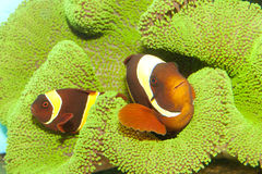 Kastanienbraune gelbe Streifen Clownfish Paare Lizenzfreies Stockbild