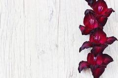 Kastanienbraune Gladiole Lizenzfreie Stockbilder