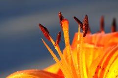 Kastanienbraune Polan-Körner gegen gelbe Blumenblätter und blauen Himmel als Hintergrund Stockfotos