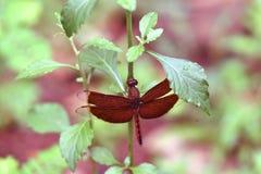 Kastanienbraune rote Libelle auf Blume lizenzfreie stockfotos