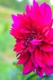 Kastanienbrauner Dahliennahaufnahme fromm Sommergarten lizenzfreies stockbild