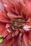 Kastanienbrauner Dahliennahaufnahme fromm Sommergarten lizenzfreies stockfoto