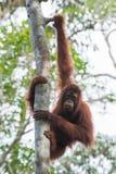 Kastanienbrauner Orang-Utan fing seine langen Arme zu einem Baum und zu einem Hängen (Indonesien) Lizenzfreie Stockfotografie