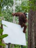 Kastanienbrauner Orang-Utan sitzt auf der hinteren Ecke der Anschlagtafel im Dschungel (Indonesien) Stockfoto