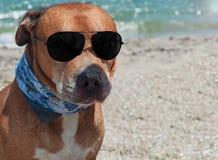 Kastanienbraunes American Pit Bull Terrier mit schwarzer Sonnenbrille auf dem Sein stockfotografie