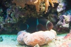 Kastanienbraunes biaculeatus Clownfish - Premnas Stockfoto