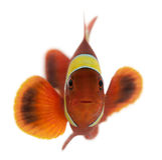 Kastanienbraunes clownfish, Premnas biaculeatus Lizenzfreies Stockfoto