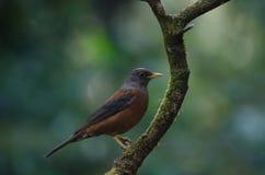 Kastaniendrossel Turdus rubrocanus Vogel Lizenzfreies Stockfoto