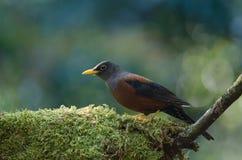 Kastaniendrossel Turdus rubrocanus Vogel Lizenzfreies Stockbild