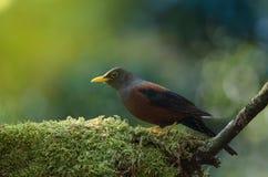 Kastaniendrossel Turdus rubrocanus Vogel Lizenzfreie Stockfotos