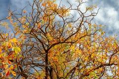 Kastanienniederlassungen während einer Herbstsaison stockfotos