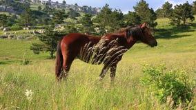 Kastanienpferd, das auf grünem Feld weiden lässt stock footage