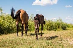 Kastanienpferd mit wenigem Fohlen Lizenzfreies Stockfoto