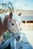 Kastanienpferd schaut über dem Zaun lizenzfreie stockfotos