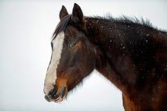 Kastanienpferdeprofilporträt Stockfotografie