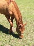 Kastanienstutenfohlen, das Gras auf dem Gebiet isst lizenzfreie stockbilder