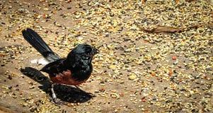 Kastanj-buktat kärna ur den Finch Oryzoborus angolensisen som äter frö Arkivfoton