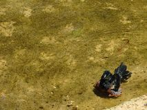 Kastanj-buktat kärna ur den Finch Oryzoborus angolensisen som tar ett slagträ Fotografering för Bildbyråer