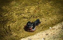 Kastanj-buktat kärna ur den Finch Oryzoborus angolensisen som tar ett slagträ Arkivfoton