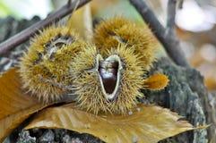 Kastanj frukter av hösten, färger av hösten royaltyfri foto