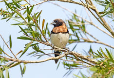 Kastanj-gick mot Mannikin, Australien Royaltyfri Foto