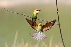 Kastanj-hövdad Bi-ätare fågel Fotografering för Bildbyråer