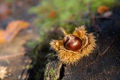 Kastanj i natur på stubbe arkivfoto