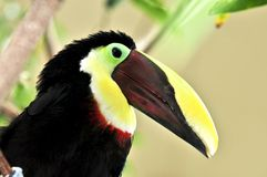 kastanj mandibled toucan royaltyfria bilder