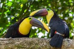 kastanj mandibled toucan arkivfoto